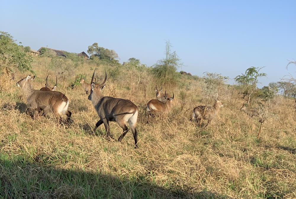 Waterbucks at Kidepo national park